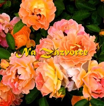 Růže pokryvná BESSY