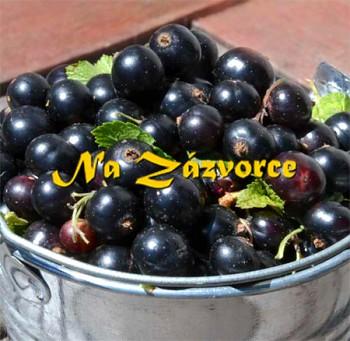Rybíz černý BALKONOVÝ Little Black Sugar® KEŘ