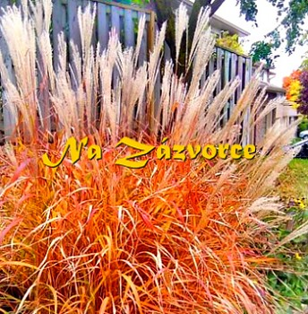 Okrasná tráva ozdobnice ´Purpurascens´