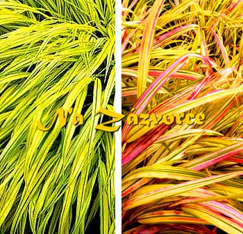 Okrasná tráva rákosovka ´Aureola´