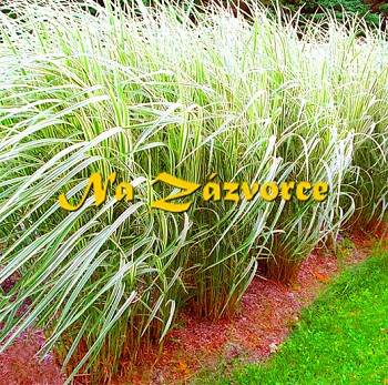 Okrasná tráva ozdobnice ´Variegtus´