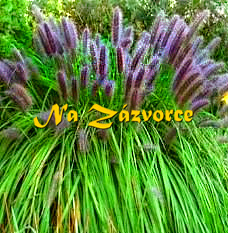 Okrasná tráva dochan ´Black Beauty´