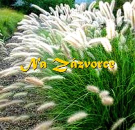 Okrasná tráva dochan ´Cassian´