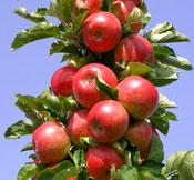 Sloupovitá jabloň Rondo®