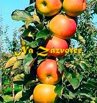Sloupovitá jabloň Cumulus