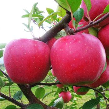 Jabloň Blaník®