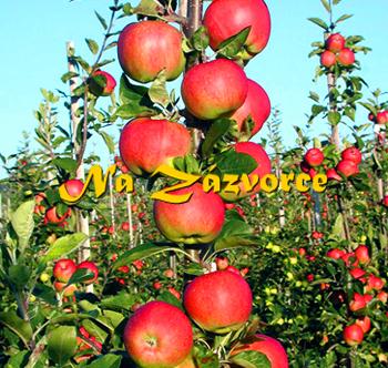 Sloupovitá jabloň Slendera