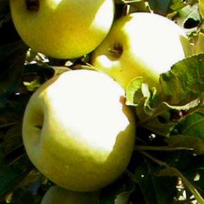 Sloupovitá jabloň Cactus