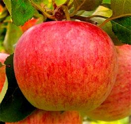 Jabloň Piros