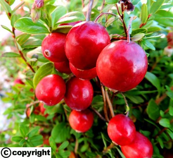 Americká brusinka CRANBERRY ´Howes´