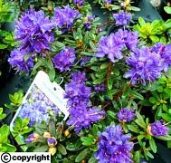 JAPONSKÝ Rhododendron ´Azurika´ VĚTŠÍ