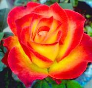 Růže velkokvětá ČERVENOŽLUTÁ