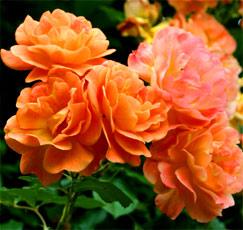 Růže pnoucí ORANŽOVÁ