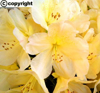 Rhododendron ´Goldfort´