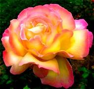 Růže velkokvětá RŮŽOVOŽLUTÁ