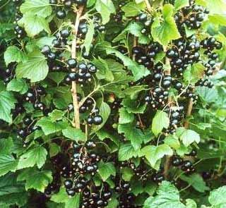 Rybíz černý Ben Gairn stromkový
