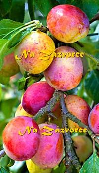 MERUŇKOŠVESTKA vhodná pro sloupovité pěstování