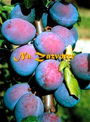 Slivoň Fruca® vhodná pro sloupovité pěstování