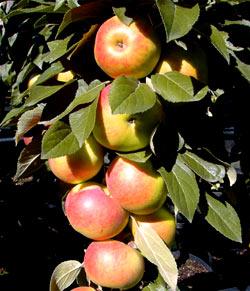 Sloupovitá jabloň Arbat®