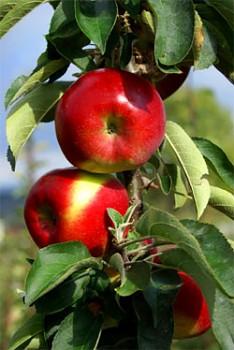 Sloupovitá jabloň Garden Fountain®